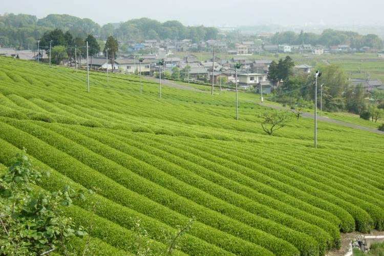 岐阜県池田町は緑豊かなお茶の町!貴重で美味しい返礼品を紹介